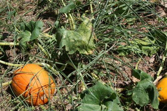 compost pumpkin