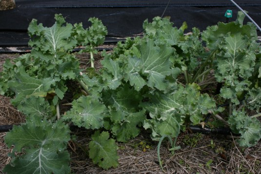 plentiful kale