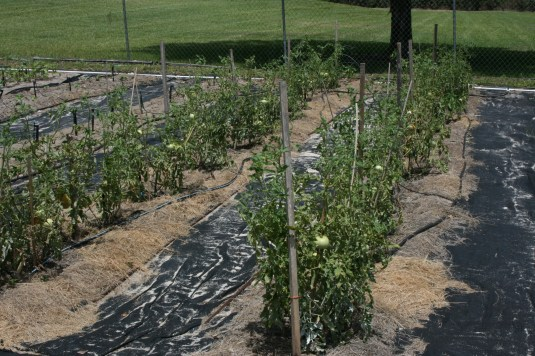 sustainability in tomatoes