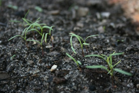 close up image of carrot sprouts