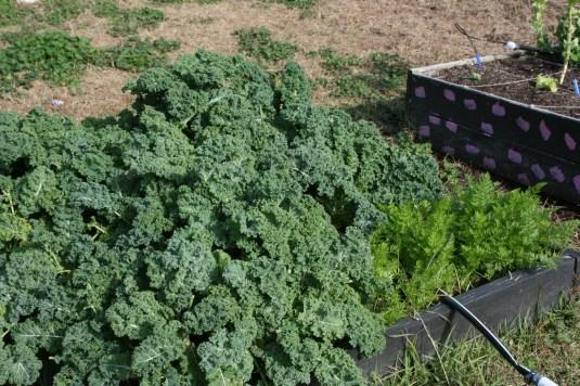 ocoee green kale