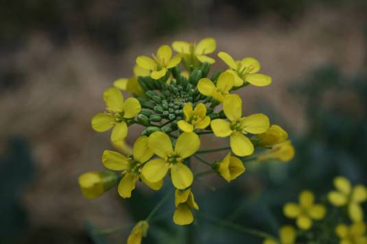 How to save broccoli seeds its easier than you think broccoli flowers mightylinksfo