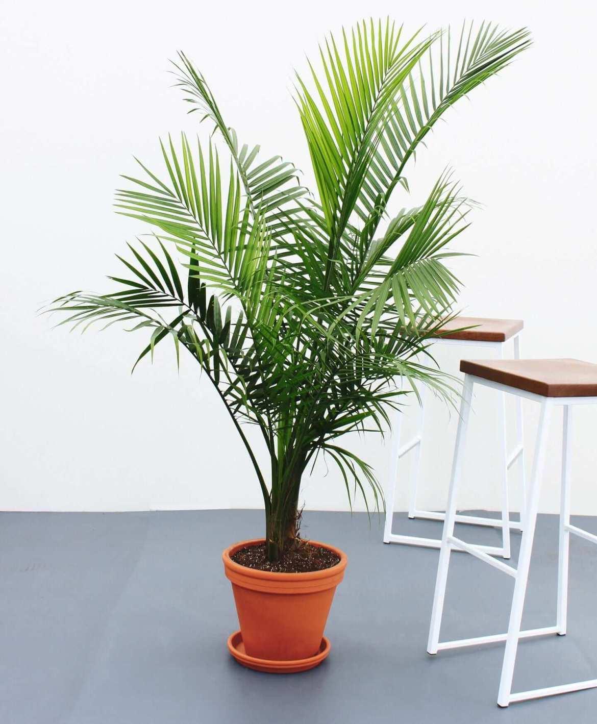 5 Easy Houseplants | Majesty Palm