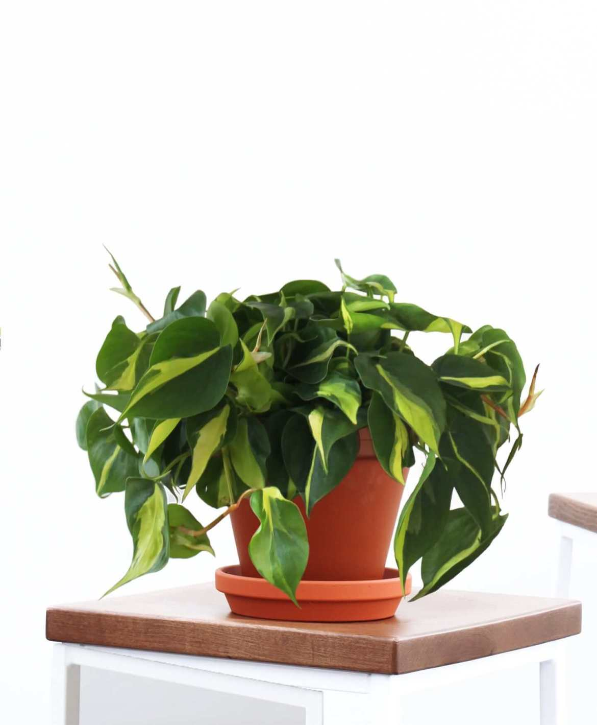 5 Easy Houseplants | Philodendron | Mass Over Matter