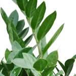 Zz Plant Care Guide Bloomscape