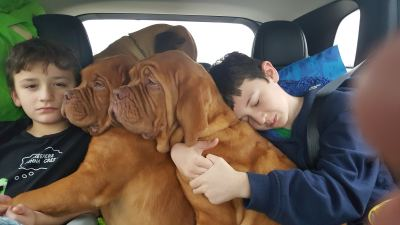 Boys sleeping in car with dogue's