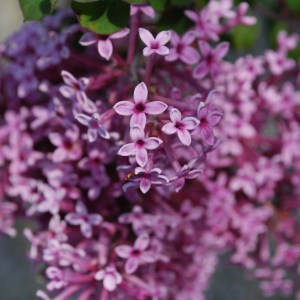 Light Purple Lilac Shrubs Link