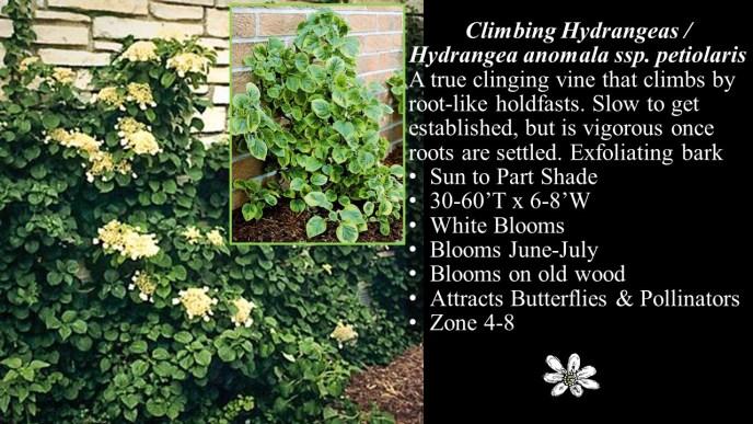 Climbing Hydrangea anomala ssp. petiolaris