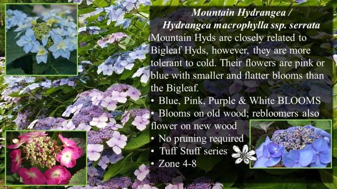 Mountain Hydrangea macrophylla ssp. serrata