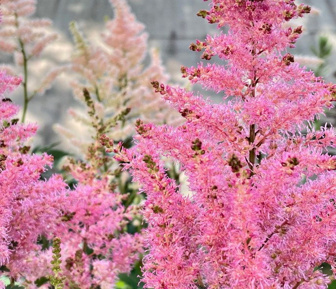younique pink astilbe