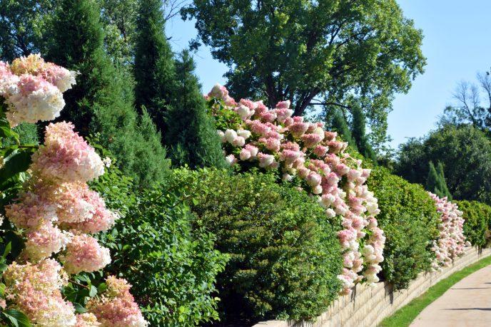 Vanilla Strawberry Panicle Hydrangea at Cedar Memorial