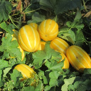 yellow chinese melons and eggplant pizzas 003