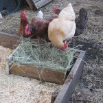 My hens checking out the new fresh nest box.