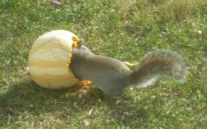squirrel eating melon