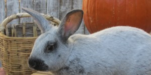 Meet the New Couple; Raising Meat Rabbits on the Homestead