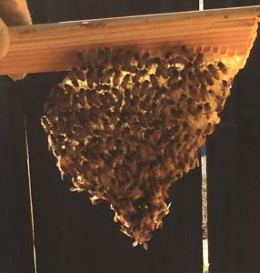 Wax comb all covered in bees.