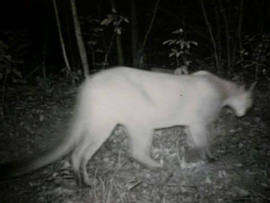 Upon further review, cougars really do live in Tennessee. The state wildlife commission will be charged with a timeout. (Photo: Jackson Sun)