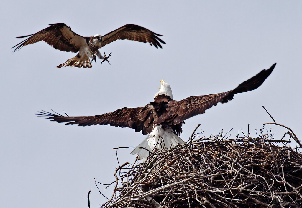Ospreys are not afraid to take on the larger bald eagle.