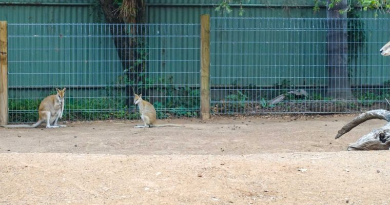 Meeting Koalas and Kangaroos at Featherdale Wildlife Park – Sydney
