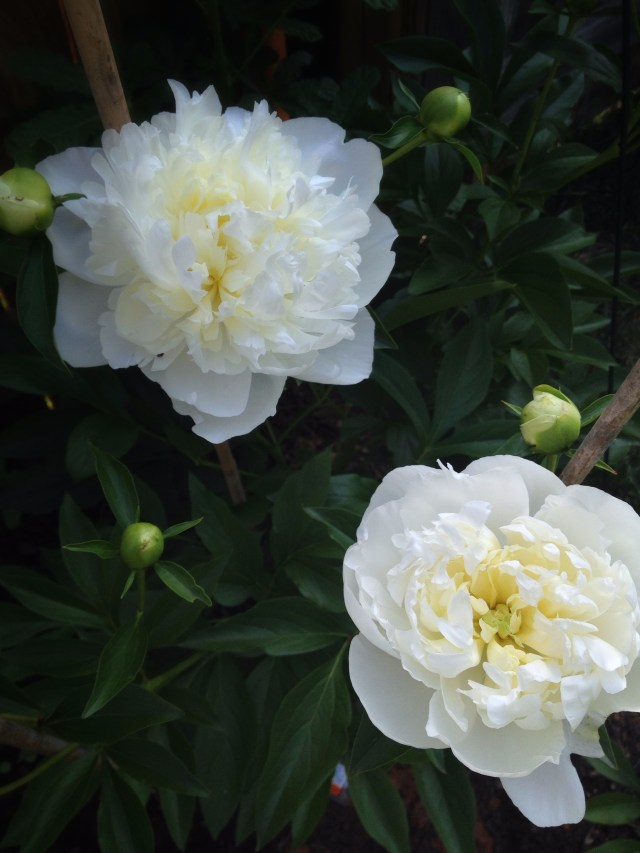 Blossom and Branch Peony