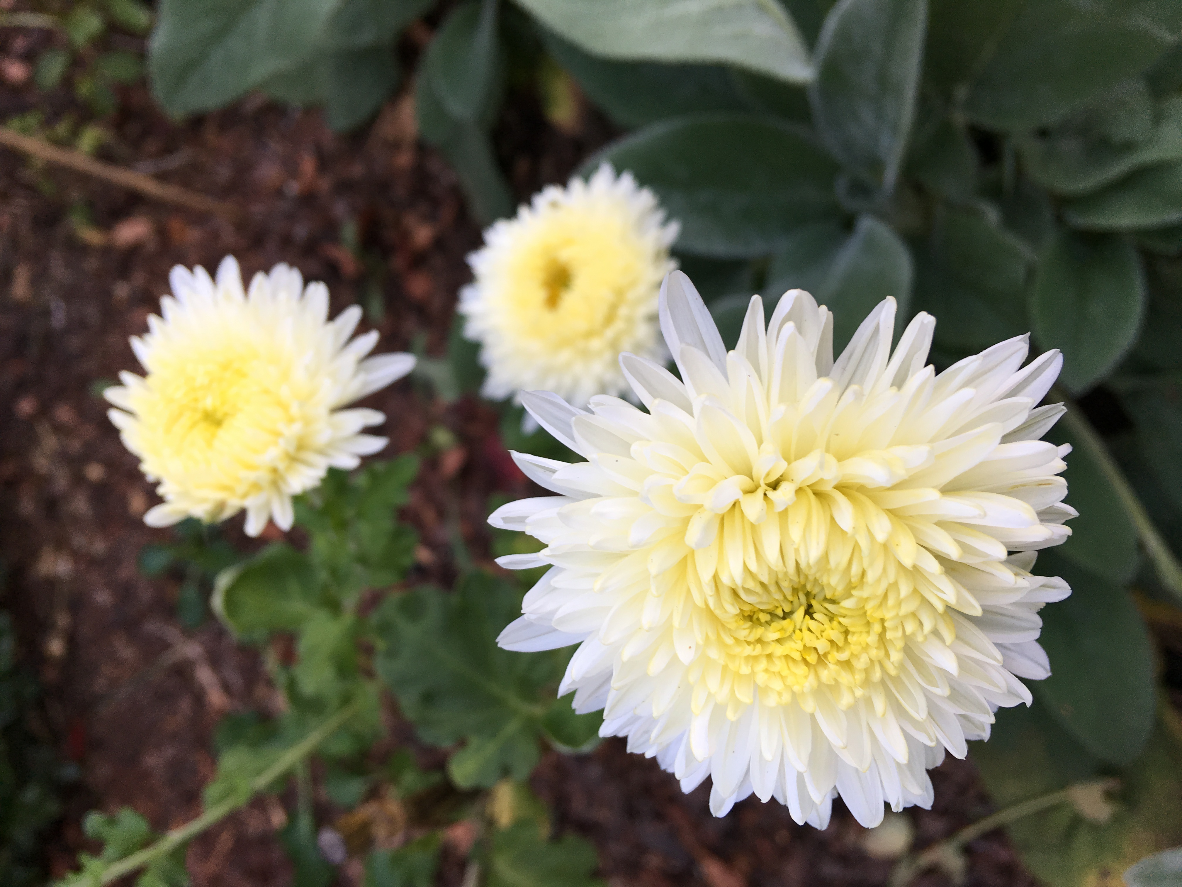 Heirloom Mums Thoughts After Second Year