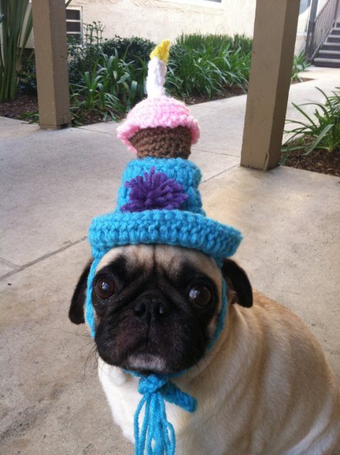 Pug Dog with Birthday Hat!
