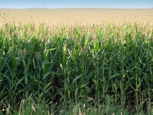 Minnesota-corn-20030826