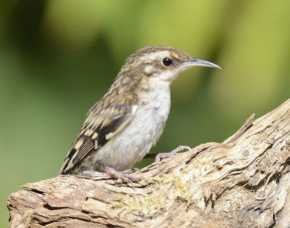 City Wilds: Meet a Shy, Tree-hugging Sort: the Brown Creeper   Sports And  Outdoors   anchoragepress.com