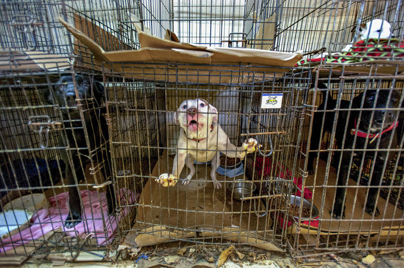 Image of: Puppy Mill Shelter Under Scrutiny For Conditions Population News Bgdailynewscom Advocacy For Animals Shelter Under Scrutiny For Conditions Population News