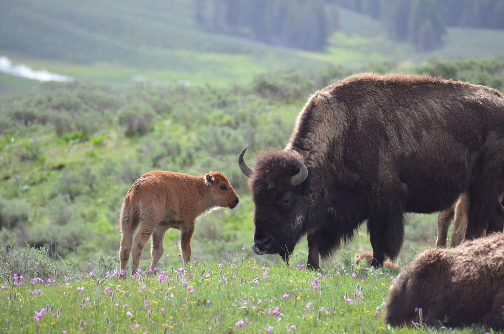 Park Service, Forest Service Agree to Supplement Bison Management Plan