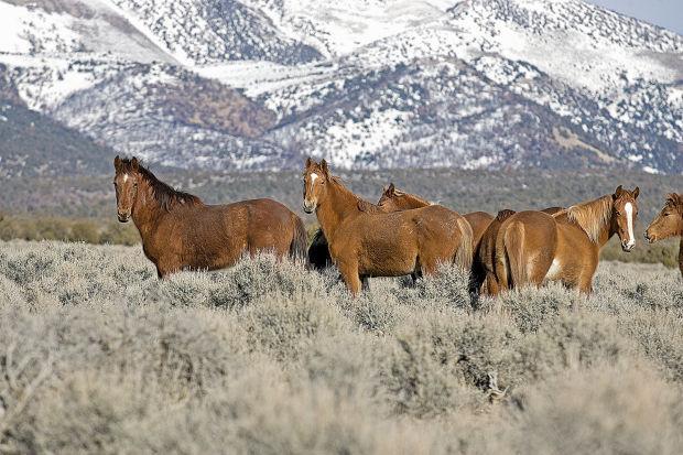 Wild horses near Bald Mountain. (Elko Daily Free Press file photo)