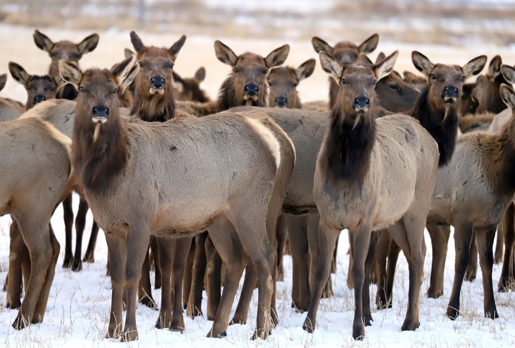 Six cited after hunters fire into elk herd in Meagher County