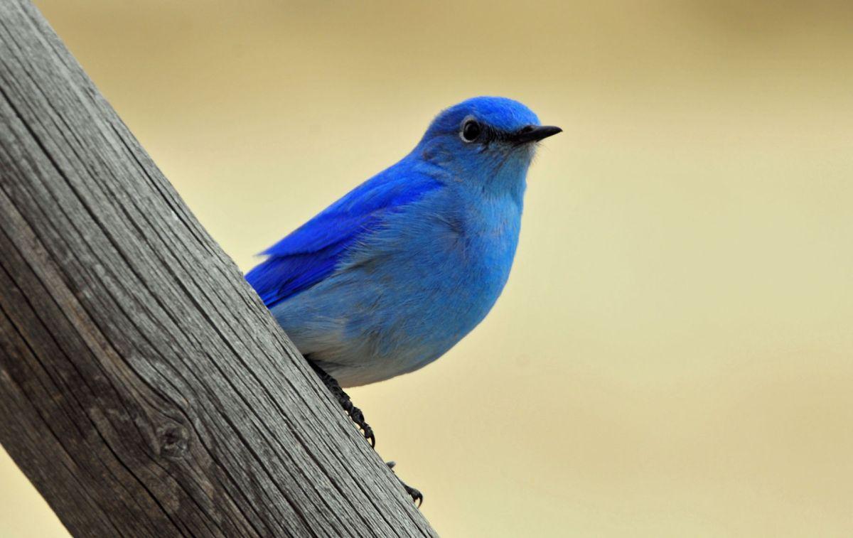 montana birding: bluebird is one of nature's finest     helenair