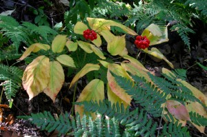 Image Result For Best Place To Find Ginseng In The Woods