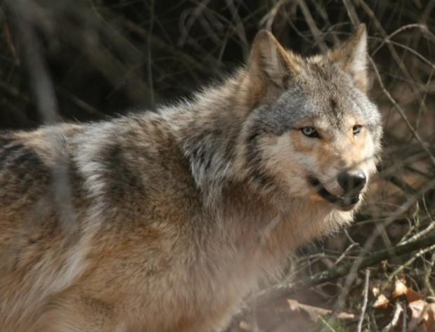Dells Wisconsin Wolf