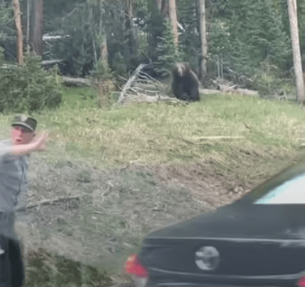 Video shows ranger bluff charged by grizzly at park bear jam
