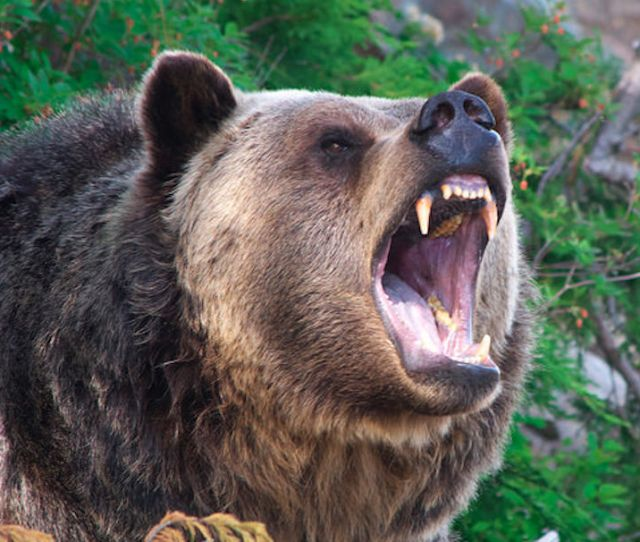 Hunter Bit On Hand By Grizzly After Throwing Bear Spray Canister At Bruin Local Idahostatejournal Com