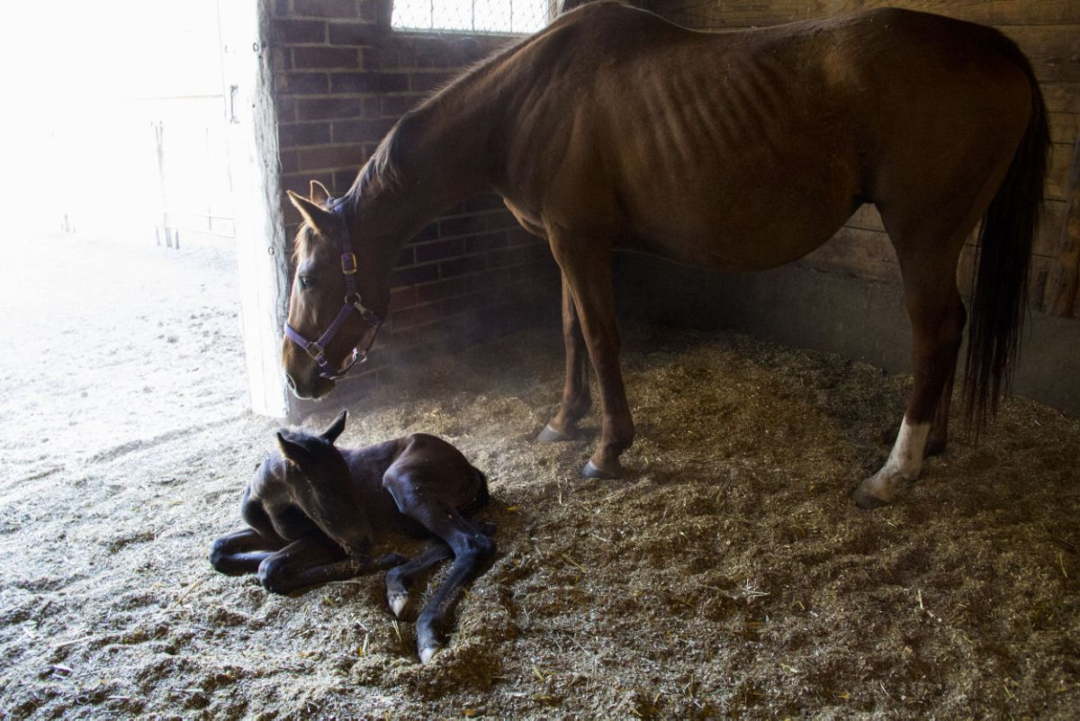 ISU Students Have Opportunity To Learn About Care For Baby Horses At Horse Farm Student Life