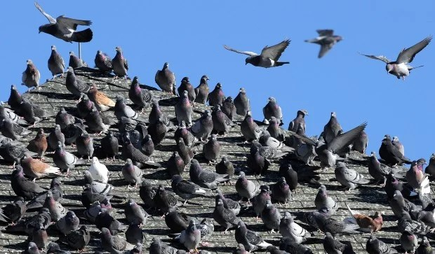 Image result for pigeons on the roof