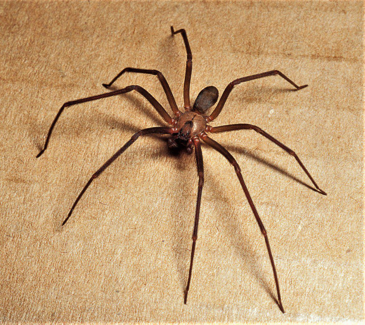 Are Wolf Spider Bite Brown Recluse Poisonou