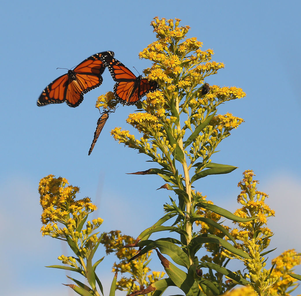 Monarch Butterfly Migration Cape May Point