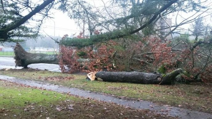 Downed trees on Olympia Way