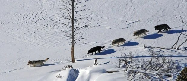 Hungry Interior Yellowstone National Park Wolf Pack Moves