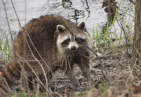 Officials: Mass. man may have rabies from Conway raccoon