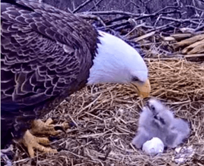 Pritchett Real Estate Website Eagles Are Wild Birds And Anything Can Happen In The Southwest Florida Eagle Camera Swfec Does Not Interfere