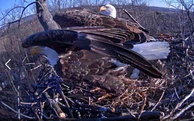 39 Eagle Cam Captures Hatching Of First Two Bald Eggs Upi Com