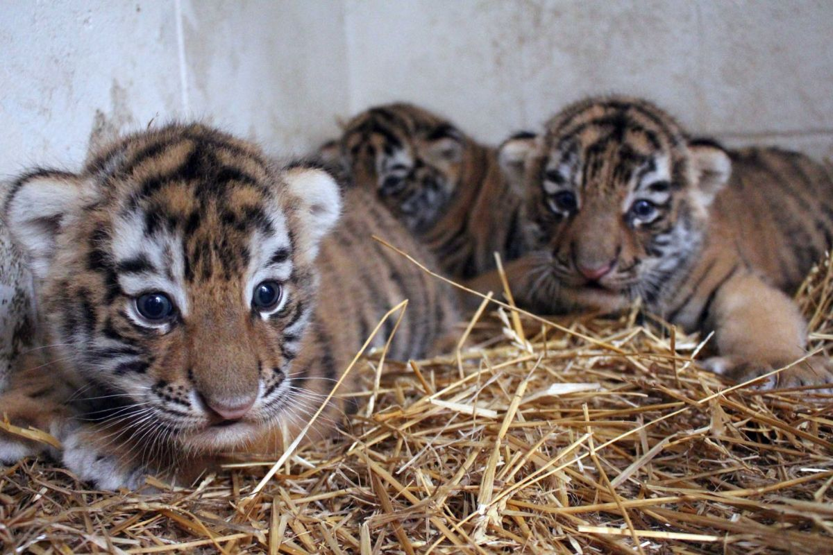 say awww: 3 baby tiger cubs make their public debut at the omaha