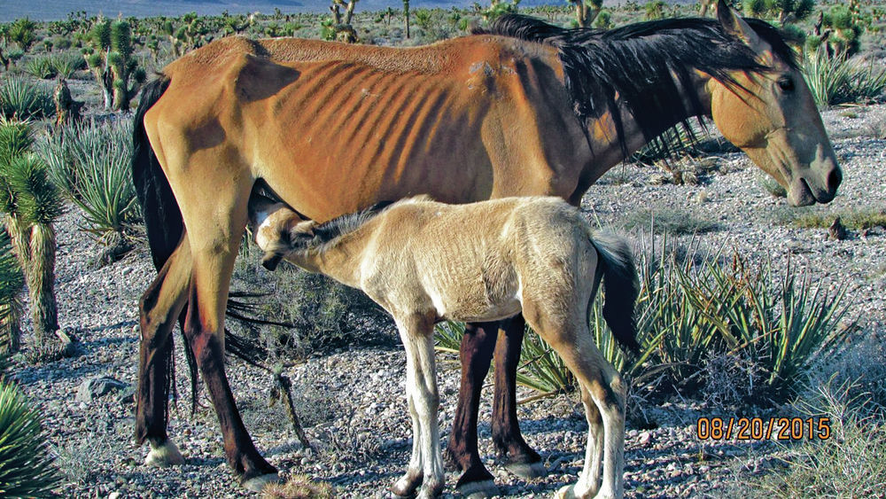 This wild mare and foal were among a group of mustangs removed from a range in Nevada last year because they were starving. (BLM photo)