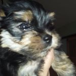 Aca Yorkie Puppies For Sale Dogs Stltoday Com