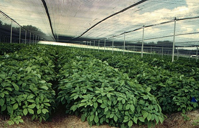 Image Result For How Much Is Ginseng Root Per Pound